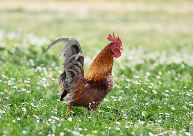 Serama kip in een tuin in het voorjaar