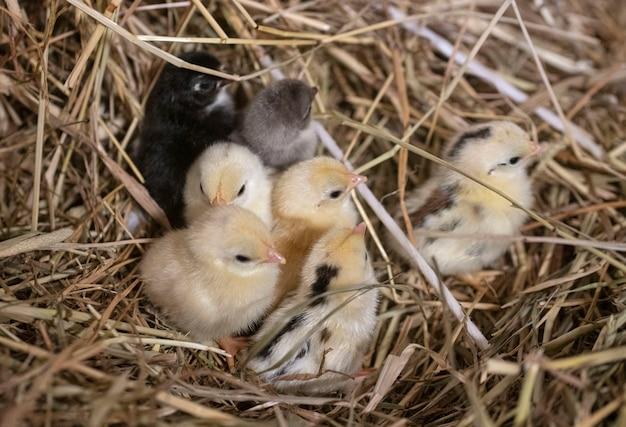 Serama kuikens in nest