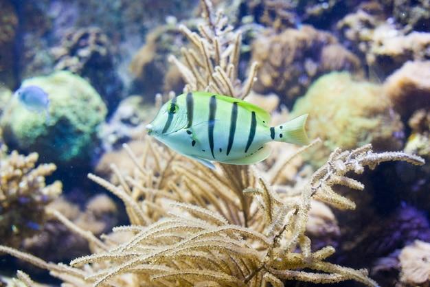 Sergeant-majoorvissen op een koraalrif in aquarium