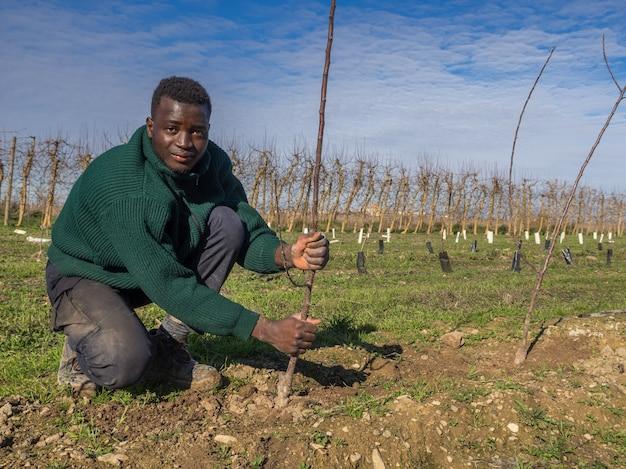 Serie van een afrikaanse boer die fruitbomen plant op een zonnige winterdag. landbouw concept.
