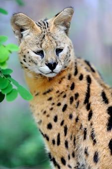 Serval kat felis serval wandelen in de natuurlijke omgeving