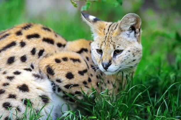 Serval kat (felis serval) wandelen in de natuurlijke omgeving
