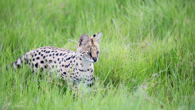 Serval kat in het grasland van de savanne in kenia