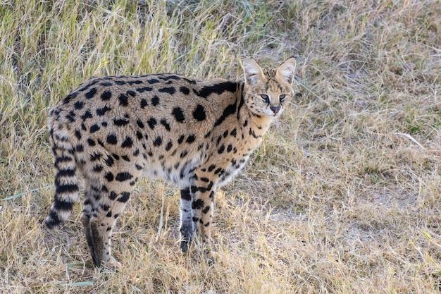 Serval staat in een grasveld