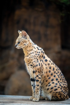 Serval wilde kat