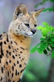 Servalkat (felis serval) wandelen in de natuurlijke omgeving