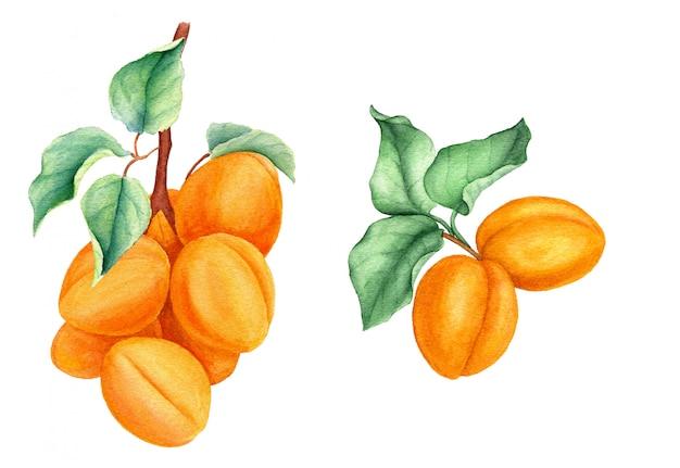 Set abrikoos takken vintage aquarel botanische illustratie