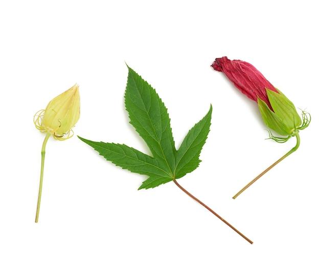 Set van rode bloeiende hibiscusknop, groen blad en ongeblazen doos geïsoleerd