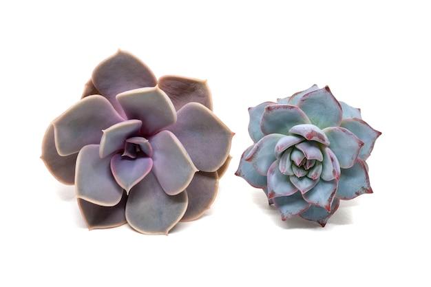 Set van twee foto's van een echeveria: lilacina en derenbergii, geïsoleerd op een witte achtergrond met een schaduw. vetplanten behorende tot de familie crassulaceae
