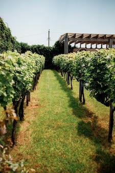 Shabo, oekraïne - 29 juni 2021: shabo wijnmakerij tuin met verschillende druivensoorten. wine company is een oekraïens wijnbouwcomplex met een volledige productiecyclus.