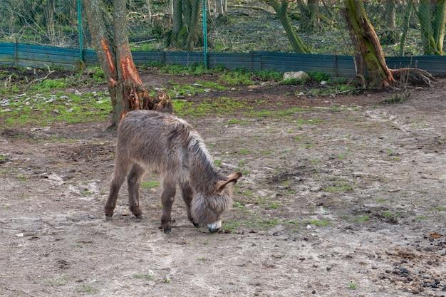 Shaggy jeruzalem pony op zoek naar heerlijk eten