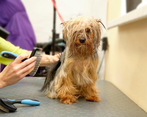 Shaggy yorkshire terrier kammen bij de trimmer