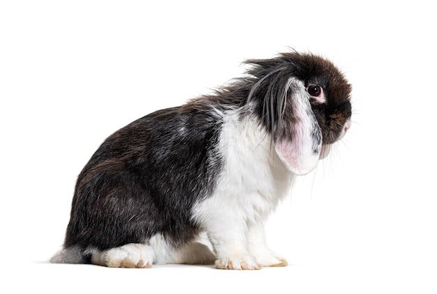 Shaggy zwart-wit lop rabbit, geïsoleerd op wit