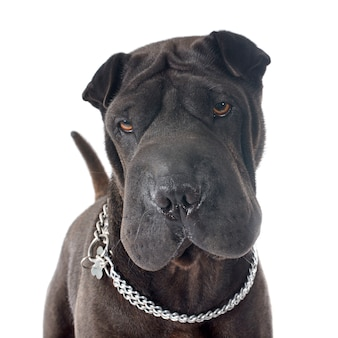 Shar pei hond