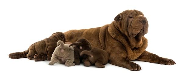 Shar pei moeder liggend haar puppy's de borst geven geïsoleerd op wit