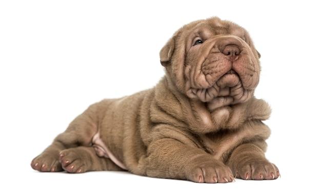 Shar pei pup liggend dutten geïsoleerd op wit