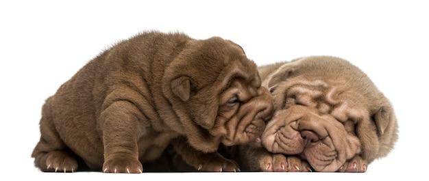 Shar pei puppies knuffelen geïsoleerd op wit