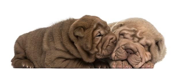 Shar pei puppies liegen, knuffelen, geïsoleerd op wit