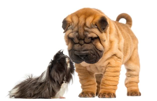 Shar pei-puppy die neer een cavia bekijken