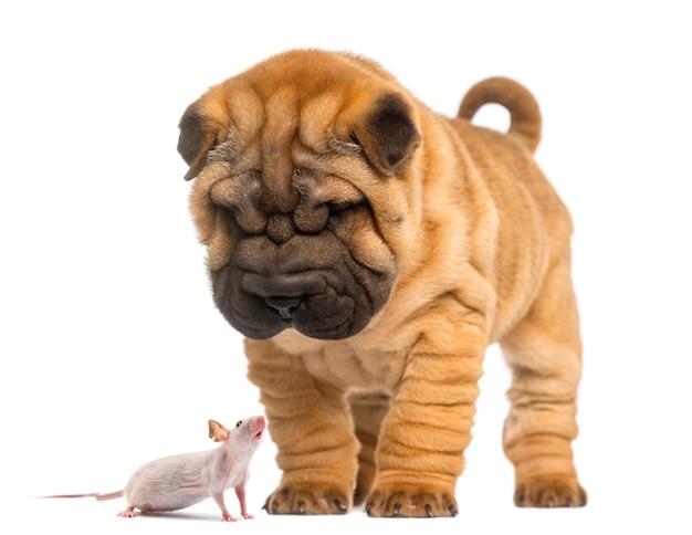 Shar pei-puppy die neer op een kale muis kijken