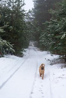 Shar pei-winter in het naaldbos.