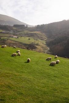 Sheeps die in de bergen bij aizkorri-bergketen, baskenland weiden.
