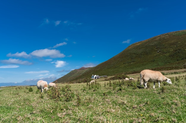 . sheeps dieren landschap weidelandbouwbedrijf