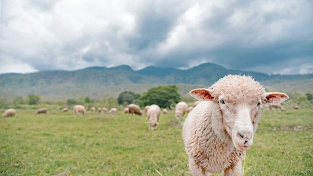 Sheeps grazen in het groene veld van het land