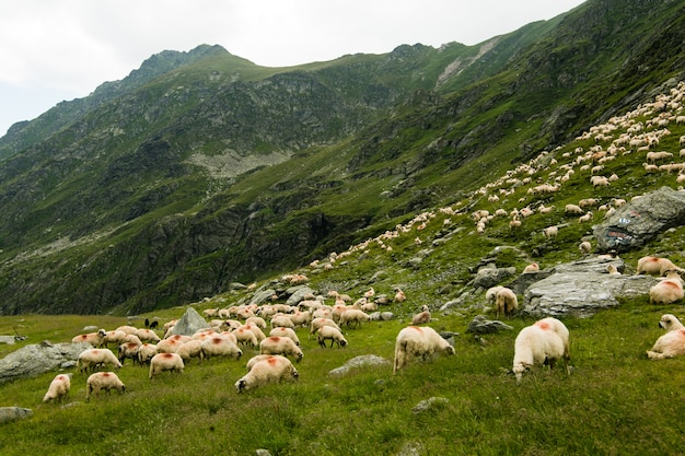 Sheeps in een weide in de bergen. mooi natuurlijk landschap op transfagarasan-bergen in roemenië