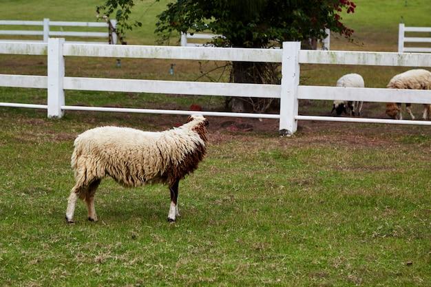 Sheeps in een weide op groen gras