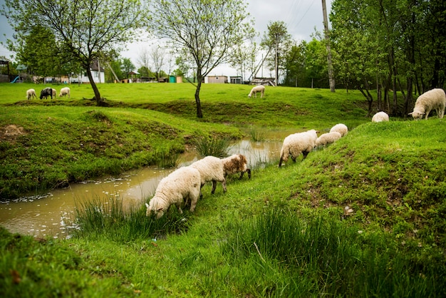 Sheeps in groen park in de buurt van de rivier