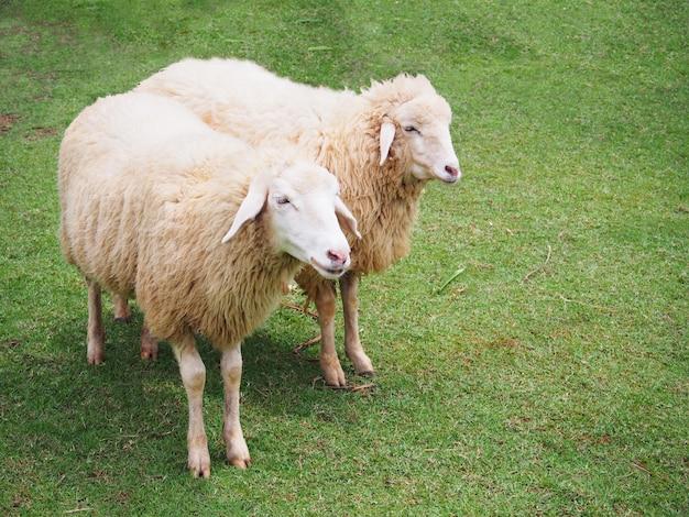 Sheeps in weide
