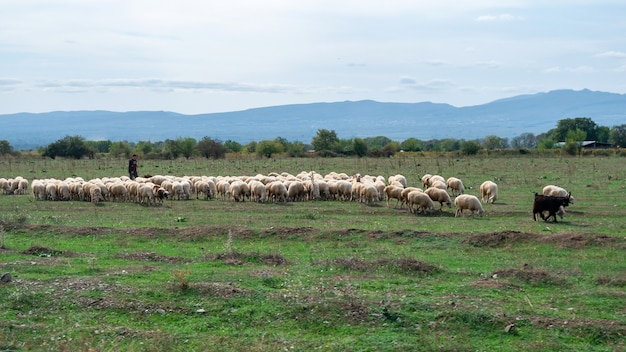Sheeps op de vallei in herfstlandschap in kakheti-gebied, georgië. landschap.