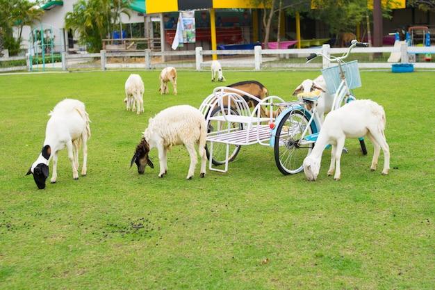 Sheeps op grasveld met bickcycle