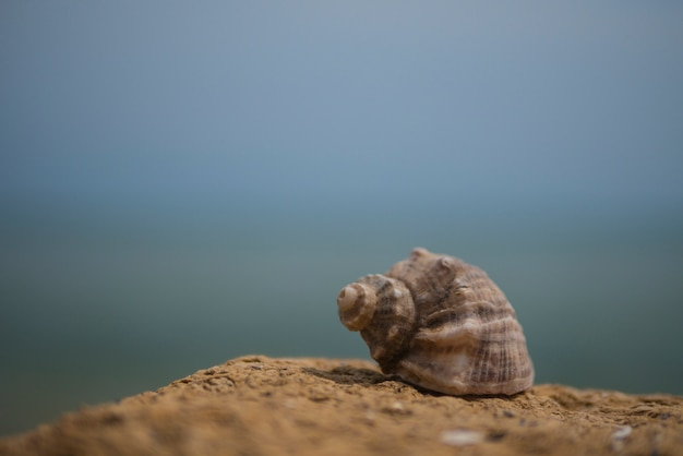 Shell van rapana op steen op de achtergrond van de zee