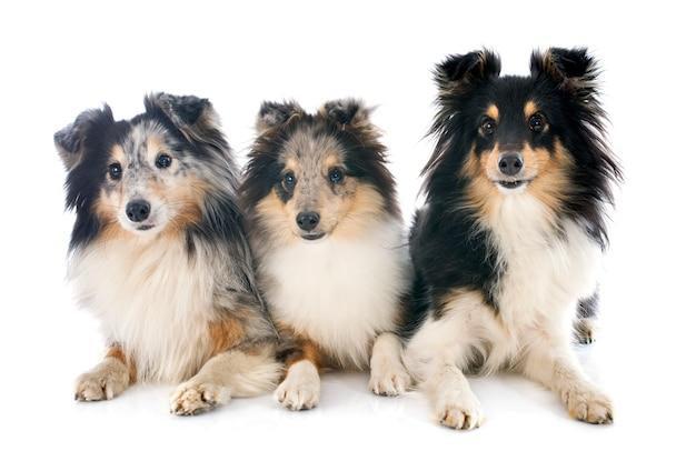 Shetland-honden