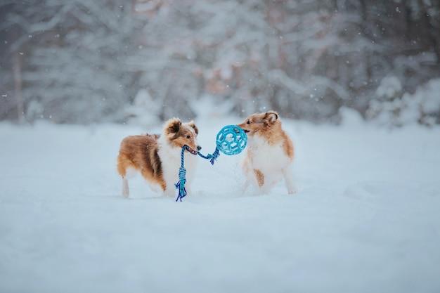 Shetland sheep dog in de sneeuw honden in de winter honden spelen in de sneeuw
