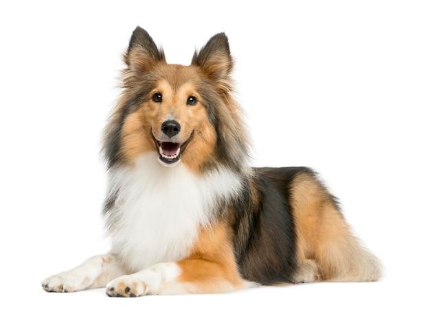 Shetland sheepdog die voor een witte muur ligt