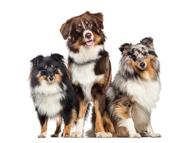 Shetland sheepdog en australian shepherd, honden in een rij, witte achtergrond