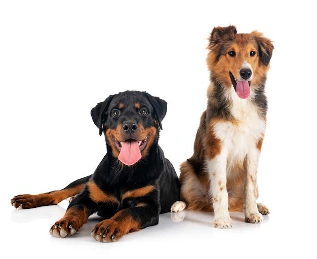 Shetland sheepdog en puppy rottweiler voor witte achtergrond