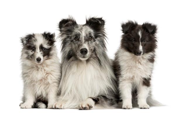 Shetland sheepdog liggend met haar pups voor een witte muur