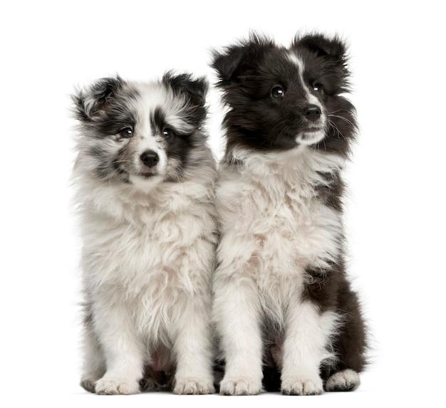 Shetland sheepdog-puppy's die voor een witte muur zitten