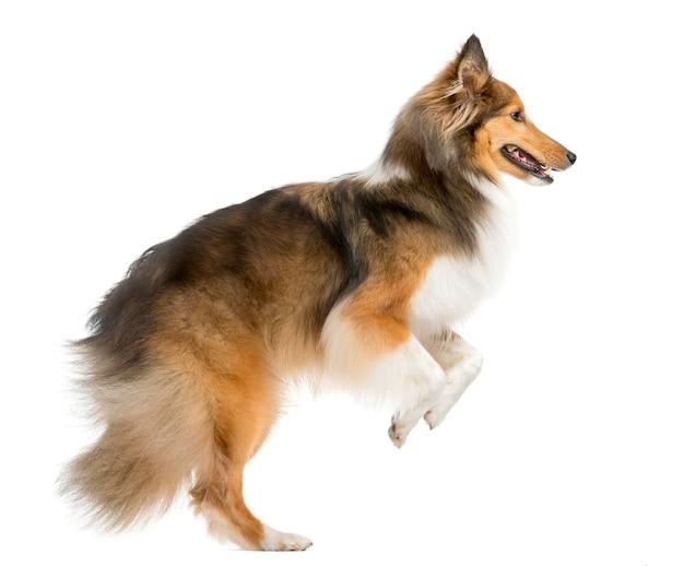 Shetland sheepdog springen voor een witte muur