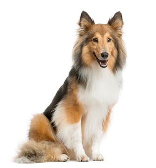 Shetland sheepdog zit een witte muur