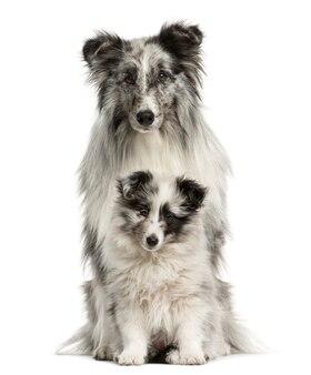 Shetland sheepdog zit met haar puppy voor een witte muur
