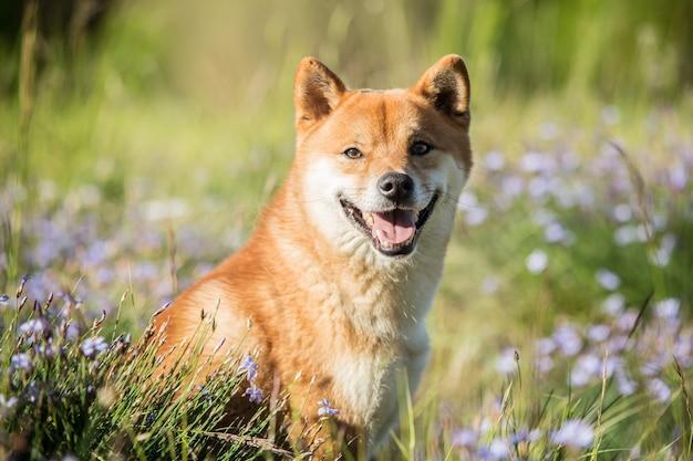 Shiba inu hond