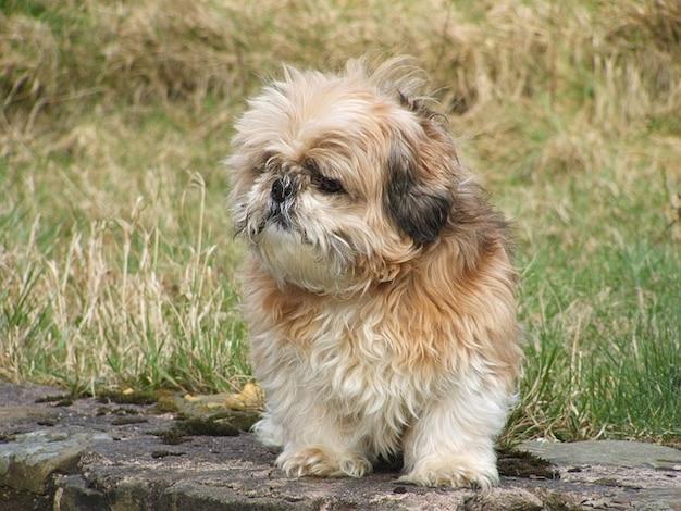 Shih schattige huisdier klein hondje, buitenshuis, dier tzu