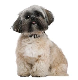 Shih tzu, 13 maanden oud. geïsoleerd hondportret