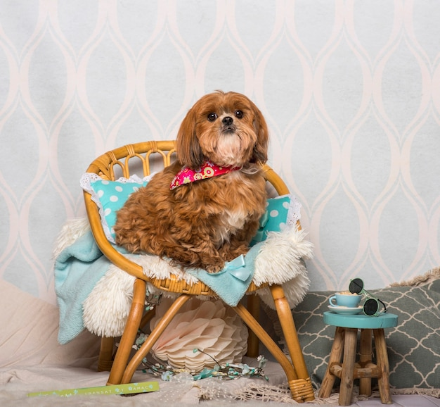 Shih tzu-hond in bloemenkraag die in huiskamer zit, portret