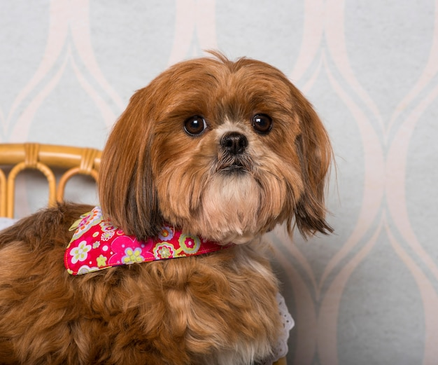 Shih tzu-hond in gebloemde kleding die in huiskamer zit, portret
